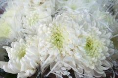 λευκό άνοιξη κήπων χρυσάνθεμων Στοκ φωτογραφία με δικαίωμα ελεύθερης χρήσης
