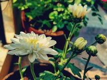 λευκό άνοιξη κήπων χρυσάνθεμων Στοκ Φωτογραφία