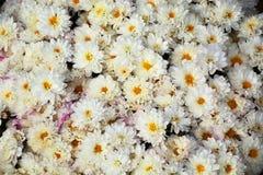 λευκό άνοιξη κήπων χρυσάνθεμων Στοκ εικόνες με δικαίωμα ελεύθερης χρήσης