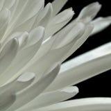 λευκό άνοιξη κήπων χρυσάνθεμων Στοκ Εικόνες