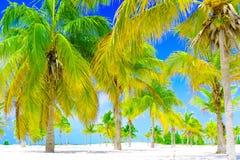 λευκό δέντρων άμμου φοινικών παραλιών Άλσος φοινικών σε Playa Sirena χρωματισμένος cayo βραδύτατος πολυ φοίνικας τρία της Κούβας  στοκ εικόνες με δικαίωμα ελεύθερης χρήσης