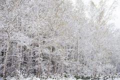 λευκό δέντρων σημύδων Στοκ εικόνες με δικαίωμα ελεύθερης χρήσης