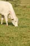 λευκό αγελάδων Στοκ Φωτογραφίες