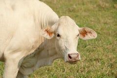 λευκό αγελάδων Στοκ Εικόνες