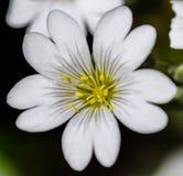 λευκό ανθών Στοκ Εικόνα