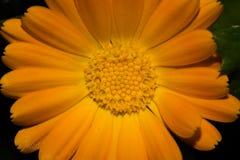 λευκό απομόνωσης gerbera λουλουδιών Στοκ εικόνες με δικαίωμα ελεύθερης χρήσης