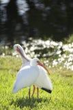 λευκό θρεσκιορνιθών Στοκ Εικόνες