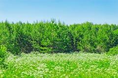 λευκό λιβαδιών λουλουδιών Στοκ εικόνα με δικαίωμα ελεύθερης χρήσης