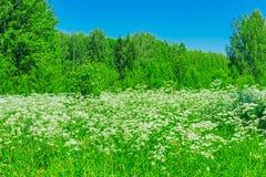 λευκό λιβαδιών λουλουδιών Στοκ φωτογραφία με δικαίωμα ελεύθερης χρήσης