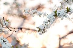 λευκό κερασιών κλάδων ανθών ανασκόπησης Στοκ εικόνες με δικαίωμα ελεύθερης χρήσης