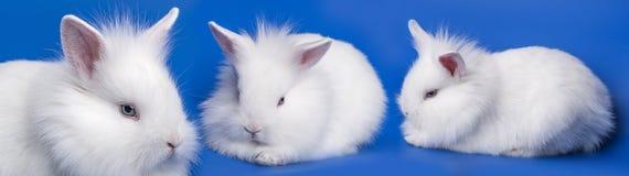 λευκό κουνελιών Στοκ Εικόνα