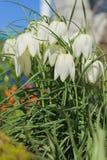 λευκό κουδουνιών Στοκ φωτογραφία με δικαίωμα ελεύθερης χρήσης