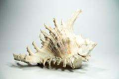 λευκό κοχυλιών θάλασσας ανασκόπησης Στοκ Φωτογραφία