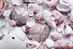 λευκό κοχυλιών θάλασσας Στοκ Φωτογραφία