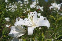 λευκό κρίνων κήπων Στοκ Εικόνα