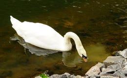 λευκό κύκνων πάρκων Στοκ εικόνα με δικαίωμα ελεύθερης χρήσης