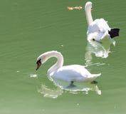 λευκό κύκνων πανιών λιμνών ανασκόπησης Στοκ Εικόνες
