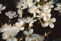 λευκό οπωρωφόρων δέντρων λουλουδιών ανθών Υπόβαθρο αρχής άνοιξη Bokeh Τονισμένο π Στοκ φωτογραφία με δικαίωμα ελεύθερης χρήσης