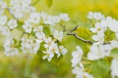 λευκό λουλουδιών άνθισης στοκ εικόνες