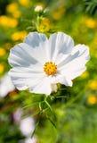λευκό λουλουδιών κόσμ&omic Στοκ Φωτογραφίες