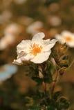 λευκό λουλουδιών Στοκ φωτογραφία με δικαίωμα ελεύθερης χρήσης