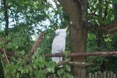 λευκό παπαγάλων Στοκ Εικόνες