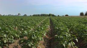 λευκό πατατών πατατών φυτών αριθμού ανθίσματος πεδίων ανασκόπησης Στοκ Φωτογραφίες