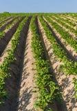 λευκό πατατών πατατών φυτών αριθμού ανθίσματος πεδίων ανασκόπησης Στοκ Εικόνες