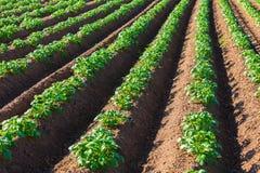 λευκό πατατών πατατών φυτών αριθμού ανθίσματος πεδίων ανασκόπησης Στοκ εικόνες με δικαίωμα ελεύθερης χρήσης