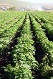 λευκό πατατών πατατών φυτών αριθμού ανθίσματος πεδίων ανασκόπησης Στοκ φωτογραφίες με δικαίωμα ελεύθερης χρήσης