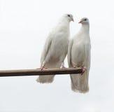 λευκό περιστεριών Στοκ φωτογραφίες με δικαίωμα ελεύθερης χρήσης