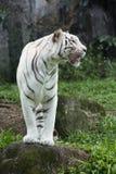 λευκό τιγρών της Βεγγάλης Στοκ εικόνα με δικαίωμα ελεύθερης χρήσης