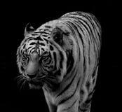 λευκό τιγρών της Βεγγάλης Στοκ Εικόνες