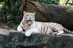 1 λευκό τιγρών Στοκ φωτογραφία με δικαίωμα ελεύθερης χρήσης