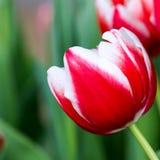 λευκό τουλιπών απομόνωσης λουλουδιών Στοκ Φωτογραφία