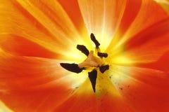 λευκό τουλιπών απομόνωσης λουλουδιών Στοκ Εικόνες