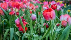 λευκό τουλιπών απομόνωσης λουλουδιών Στοκ φωτογραφία με δικαίωμα ελεύθερης χρήσης