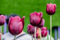 λευκό τουλιπών απομόνωσης λουλουδιών Στοκ εικόνες με δικαίωμα ελεύθερης χρήσης