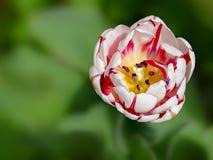 λευκό τουλιπών απομόνωσης λουλουδιών Στοκ Φωτογραφίες