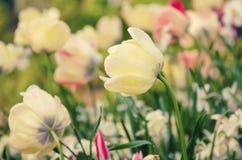 λευκό τουλιπών λουλο&ups Στοκ φωτογραφίες με δικαίωμα ελεύθερης χρήσης