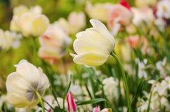 λευκό τουλιπών λουλο&ups Στοκ εικόνα με δικαίωμα ελεύθερης χρήσης