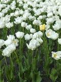 λευκό τουλιπών λουλο&ups Στοκ Εικόνα