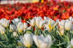 λευκό τουλιπών λουλο&ups Στοκ φωτογραφία με δικαίωμα ελεύθερης χρήσης