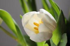 λευκό τουλιπών Στοκ Φωτογραφίες