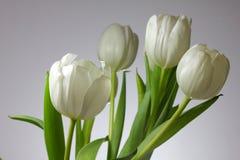 λευκό τουλιπών στοκ εικόνες