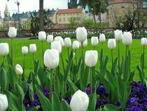 λευκό τουλιπών Στοκ φωτογραφίες με δικαίωμα ελεύθερης χρήσης