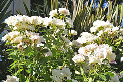 λευκό τριαντάφυλλων Στοκ Εικόνες