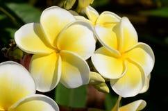 λευκό frangipani λουλουδιών Στοκ φωτογραφία με δικαίωμα ελεύθερης χρήσης