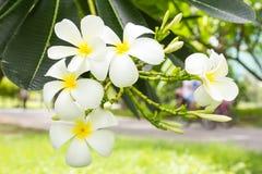 λευκό frangipani λουλουδιών Στοκ φωτογραφίες με δικαίωμα ελεύθερης χρήσης