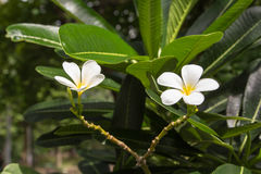 λευκό frangipani λουλουδιών Στοκ Φωτογραφία
